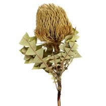 Banksia Baxterii Dried Flowers Natural 10pcs