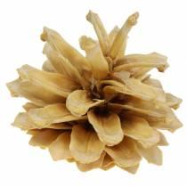 Mountain pine cones Pinus mugo cream 2-5cm 1kg