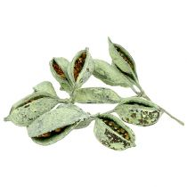 Brachyciton green frosted 500g
