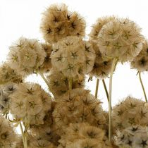 Scabiosa dried nature Scabiosa dried flowers H50cm 100g
