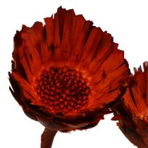 Compacta rosette orange (37) 40pcs