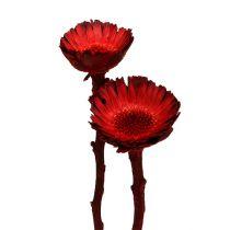 Compacta rosette red (36) 40pcs