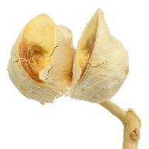 Hakea medium 5-9 heads per branch bleached 25pcs