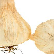 Garlic 7.5-11cm cream 5pcs