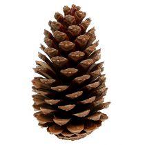 Maritima cones 14/18 natural 25pcs