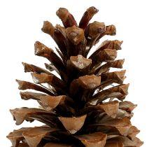 Maritima cones 17+ natural 50pcs
