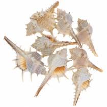 Spiny snail 1kg