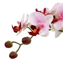 Orchid pink in ceramic pot 31cm