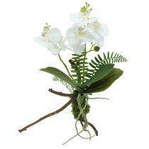 Orchid white with moss balls and roots 36cm