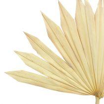 Palmspear Sun bleached 30pcs
