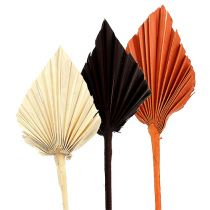 Palmspear assorted Marocco 30St