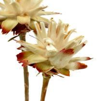 Leucospermum 1-3 Mix cream 100 heads