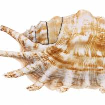 Sea snail millipede natural 11-15cm 10pcs