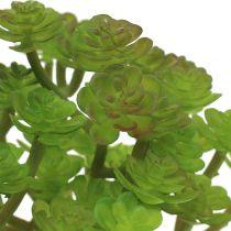 Sedum sedum plant in a 15cm pot