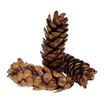 Strobus cones 15-20cm lacquered 100pcs