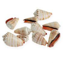 Mussels Strombus Luhuanus 1 kg