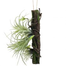Root with tillandsia for hanging 26cm