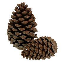 Cones Pinus Maritima 10cm - 15cm natural 3pcs