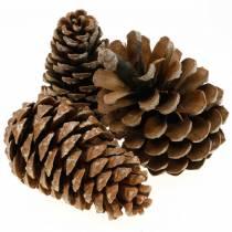 Pinus Pinea large 14 / 18cm nature 50p