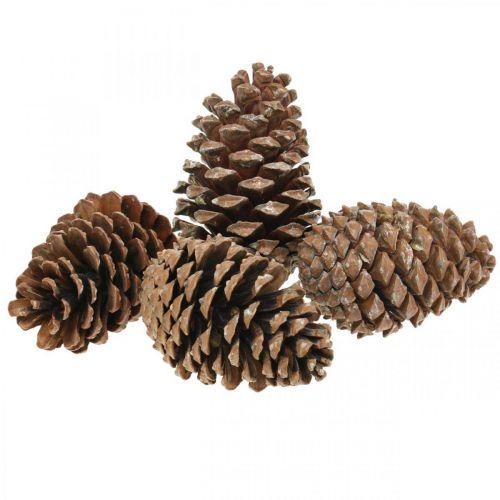 Maritima cones, funeral flowers, advent decorations, natural product H12–15cm Ø6.5–10cm 50pcs