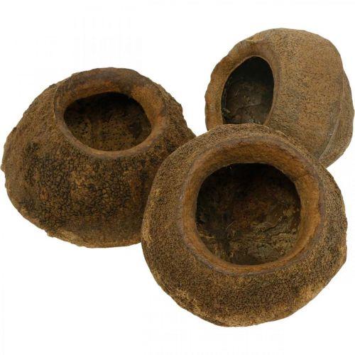 Paradise nut for planting, natural plant pot, Sapucaia for decorating Ø6–7cm H10.5–11cm 3pcs