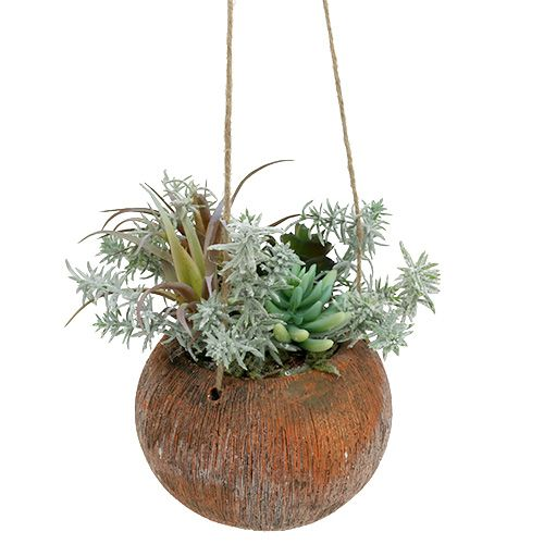 Succulents green in a pot for hanging 24cm